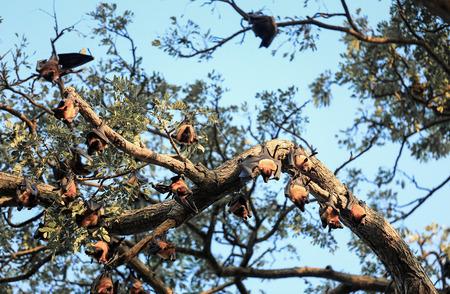 Indian flying fox (Pteropus giganteus) colony hanging from tree, Sri Lanka