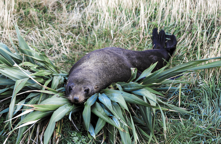 New Zealand fur seal (Arctocephalus forsteri) resting on flax bush