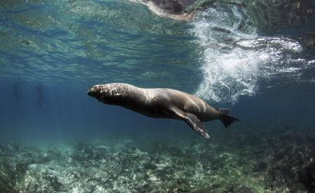 Galapagos sea lion (Zalophus wollebaeki) swimming fast underwater