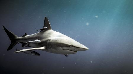 Oceanic blacktip shark (Carcharhinus limbatus) and remora fish underwater in Natal, South Africa
