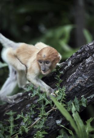 Baby proboscis monkey in mangrove forest, Borneo, Malaysia Фото со стока