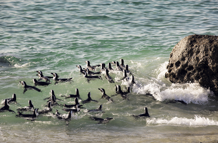 A raft of African penguins swimming in surf at Boulders Beach, Cape Town