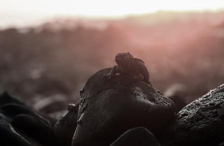 Marine iguana on rocky coastline at sunset, Galapagos Islands