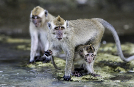 Crab eating macaque (Macaca fascicularis) monkeys on beach in Java, Indonesia