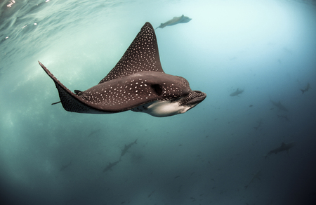 Spotted eagle rays (Aetobatus narinari) swimming underwater, Galapagos Islands