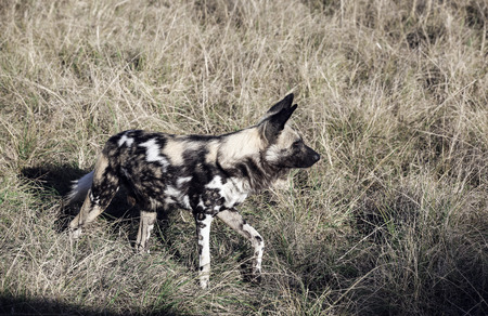 African wild dog (Lycaon pictus) in South Africa