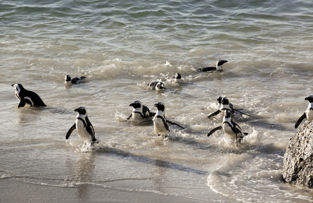 African penguins swimming on sand at Boulders Beach, Cape Town