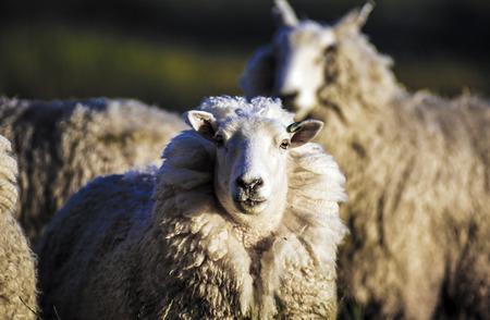 Sheep with full fleece of wool ready for summer shearing, New Zealand Foto de archivo