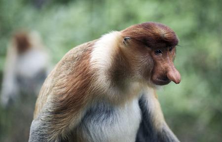 Male proboscis monkey in mangrove forest, Borneo, Malaysia Фото со стока