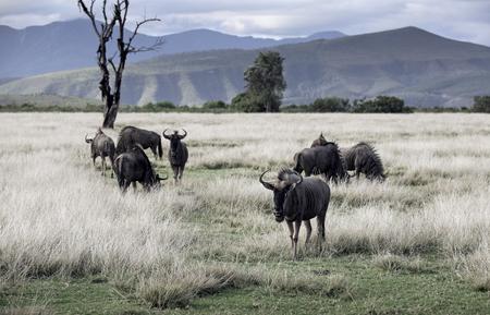 Herd of blue wildebeest (Connochaetes taurinus) grazing African savannah