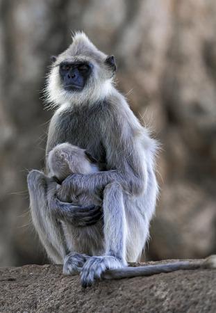 Tufted gray langur (Semnopithecus priam) monkey falling asleep while nursing baby, Sri Lanka Foto de archivo