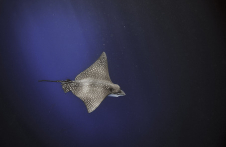 Spotted eagle ray (Aetobatus narinari) swimming underwater in blue ocean, Galapagos Islands