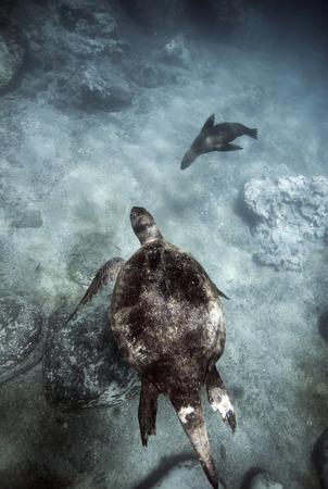 Green sea turtle and Galapagos sea lion swimming underwater Фото со стока