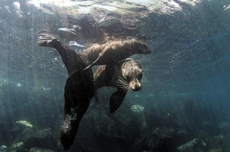 Galapagos sea lion (Zalophus wollebaeki) family underwater