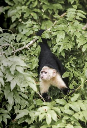 White headed capuchin (Cebus capucinus) in rainforest.