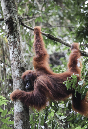 Sumatran orangutan (Pongo abelii) hanging from tree in Gunung Leuser National Park