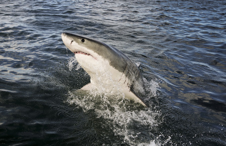 Great white shark (Carcharodon carcharias) breaching on ocean surface Reklamní fotografie