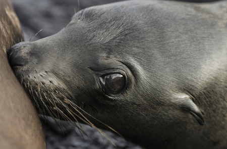 Baby Galapagos sea lion (Zalophus wollebaeki) drinking milk from mother Фото со стока