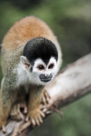 Black capped squirrel monkey on branch in Amazon rain forest, Peru