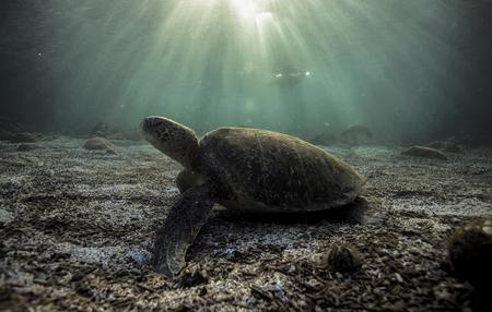 Green sea turtle (Chelonia mydas) resting on ocean floor in the Galapagos islands