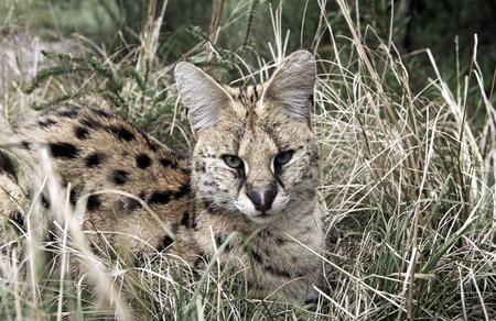 Serval (Leptailurus serval) cat resting in grass