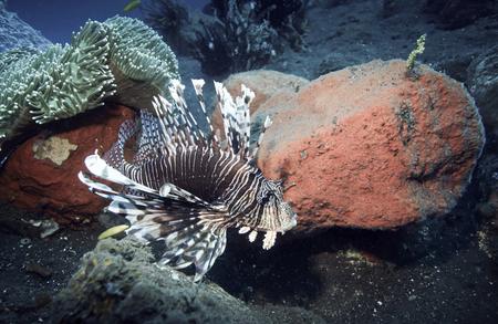 Lionfish (Pterois) underwater in Tulamben, Bali