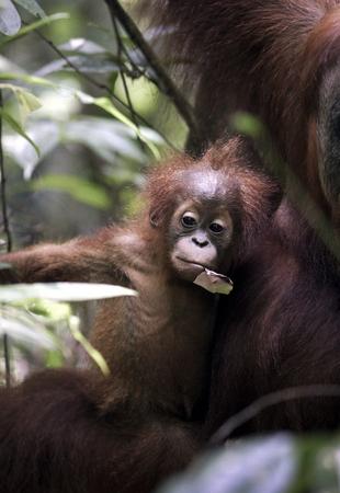 Baby Sumatran orangutan (Pongo abelii) with mother in jungle at Gunung Leuser National Park Foto de archivo