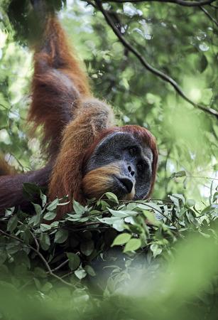 Male Sumatran orangutan (Pongo abelii) in day nest at Gunung Leuser National Park
