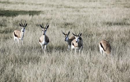 Springbok antelope (Antidorcas marsupialis) in savannah, South Africa