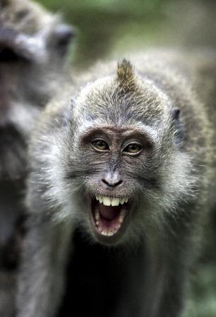 Crab eating macaque (Macaca fascicularis) showing aggression Foto de archivo