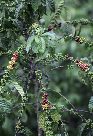 Coffee beans ripening on plant