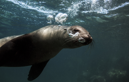 Galapagos sea lion blowing bubbles underwater Stock Photo