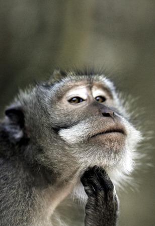 Crab eating macaque (Macaca fascicularis) looking pensive