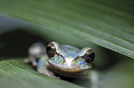 Masked Tree Frog (Smilisca phaeota) camouflaged among plant leaves Фото со стока