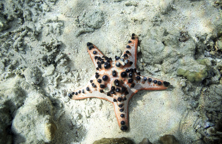Chocolate Chip Sea Star on ocean floor