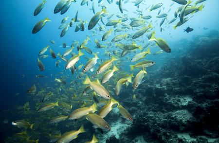 School of bigeye snapper (Lutjanus lutjanus) fish underwater at Mabul Island, Borneo Foto de archivo