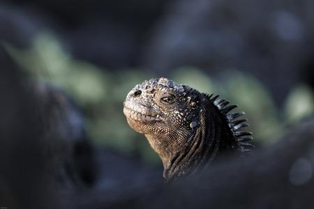 Watchful marine iguana, Galapagos Islands