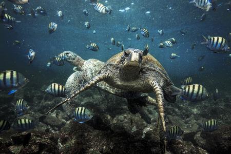 Green sea turtles and sergeant major fish, Galapagos Islands Фото со стока