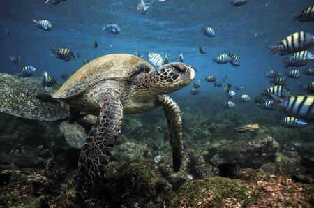 Grüne Meeresschildkröten und Sergeant-Major-Fische, Galapagos-Inseln