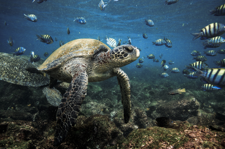 Tortues vertes et poissons sergent major, îles Galapagos