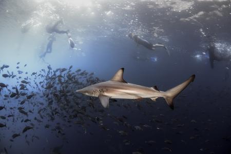 Black tip reef shark and snorkelers Фото со стока