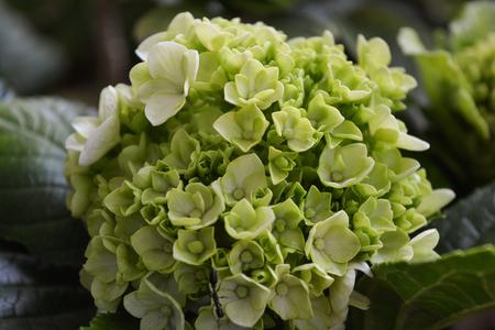 Beautiful green Hydrangea blooming flowers