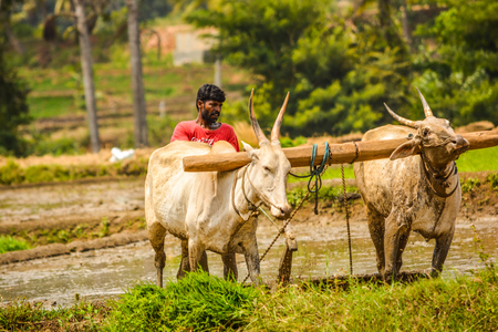 Here farmer ploughing muddy field with bullocks tilling land for transplanting by using two oxen, its traditional way of agiculture instead of using the tractor formers using oxens