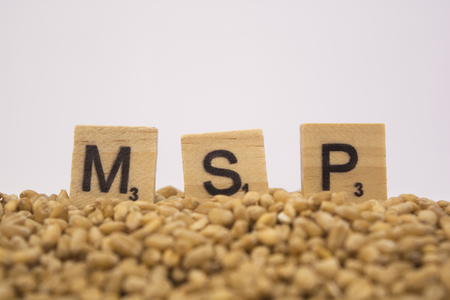 Concept of MSP or Minimum support price of Wooden blocks on pile of wheet grains on isolated background.