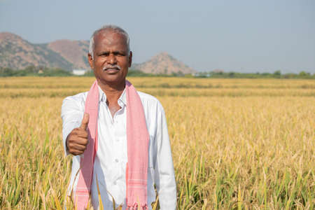 Indian Farmer with Thumps up gesture standing in middle of harvested Crops - concpet of good or bumper crop yields showing with copy space on agriculture farm land 免版税图像