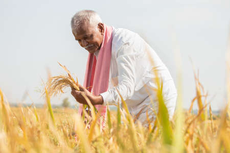 Happy Farmer busy working on paddy field by checking crop yield during hot sunny day - Rural lifestyle of India during harvesting season 免版税图像