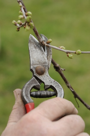 Trimming of trees with secateurs photo