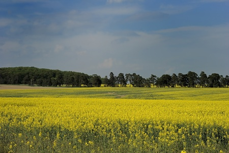 cultivable: Yellow colza field with trees