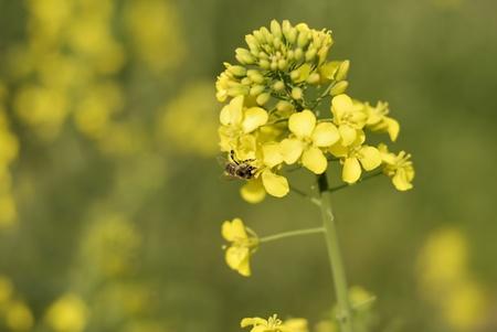 colza: Nabina amarillo
