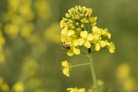 cultivable: Yellow colza Stock Photo